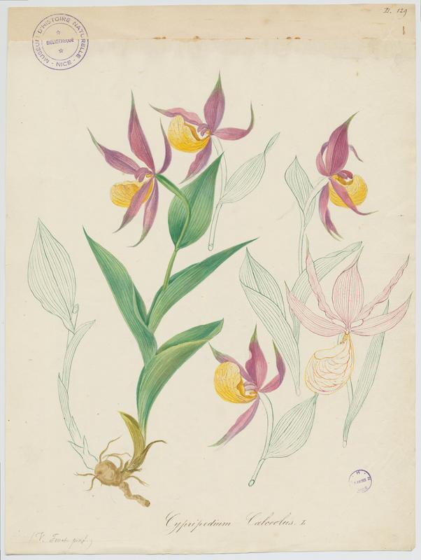 Sabot-de-Vénus ; plante à fleurs_0