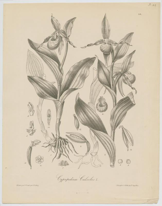 Sabot-de-Vénus ; plante à fleurs