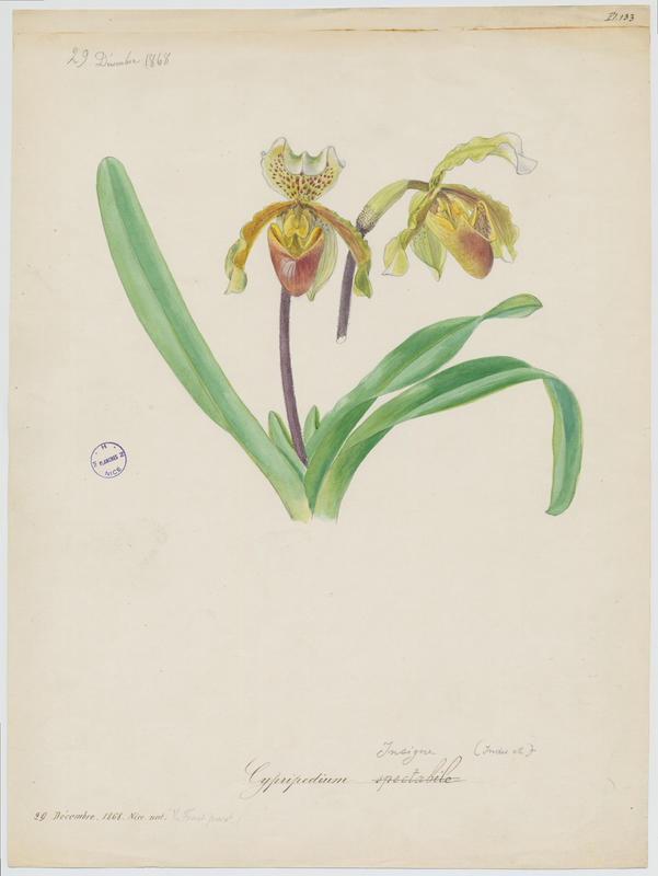 Cypripède ; plante à fleurs_0
