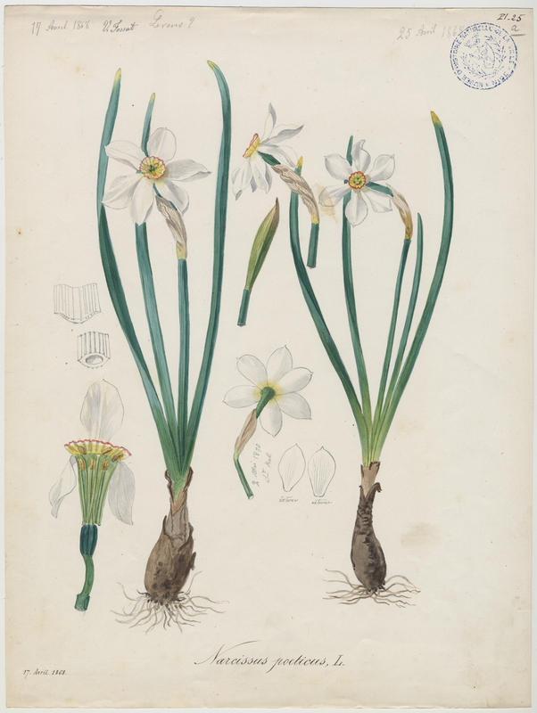 FOSSAT Vincent (aquarelliste, peintre) : Narcisse des poètes, plante à fleurs