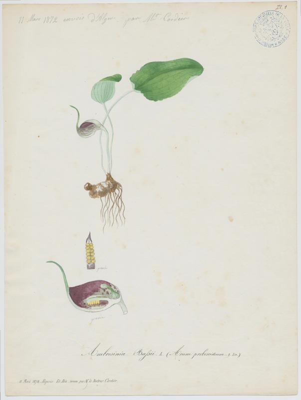 Ambrosine de Bassi ; plante à fleurs