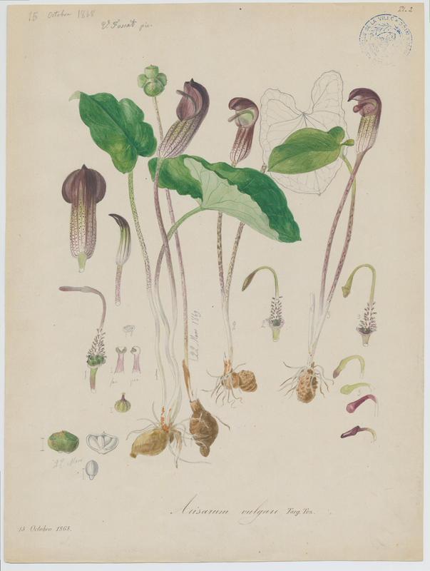 Capuchon de moine ; Gouet à capuchon ; plante à fleurs_0
