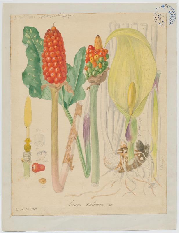 FOSSAT Vincent (aquarelliste, peintre) : Arum d'Italie, Gouet d'Italie, Pied de veau, plante à fleurs