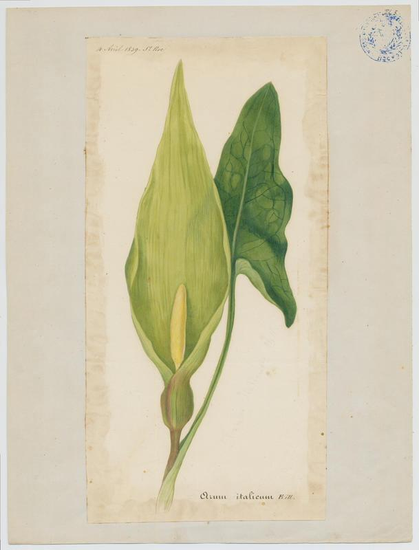 BARLA Jean-Baptiste (attribué à) : Arum d'Italie, Gouet d'Italie, Pied de veau, plante à fleurs
