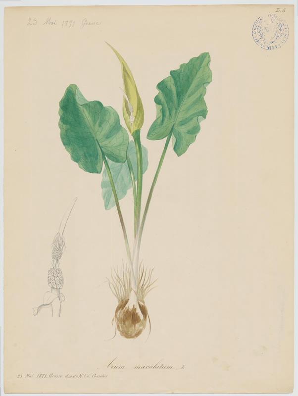 Arum tacheté ; Gouet tacheté ; plante à fleurs_0