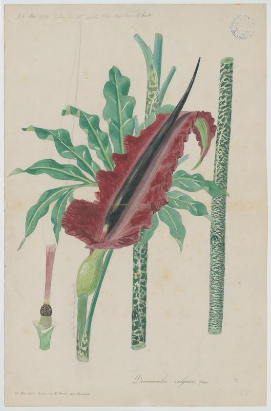 Arum petit-dragon ; Petit dragon commun ; Dragonne Serpentaire ; plante à fleurs_0