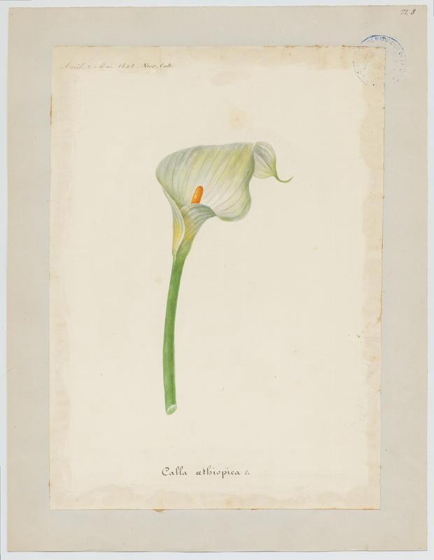 Calla ; Arum d'Ethiopie ; plante à fleurs_0