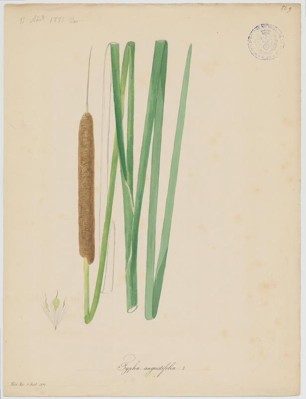 Massette à feuilles étroites ; plante à fleurs_0