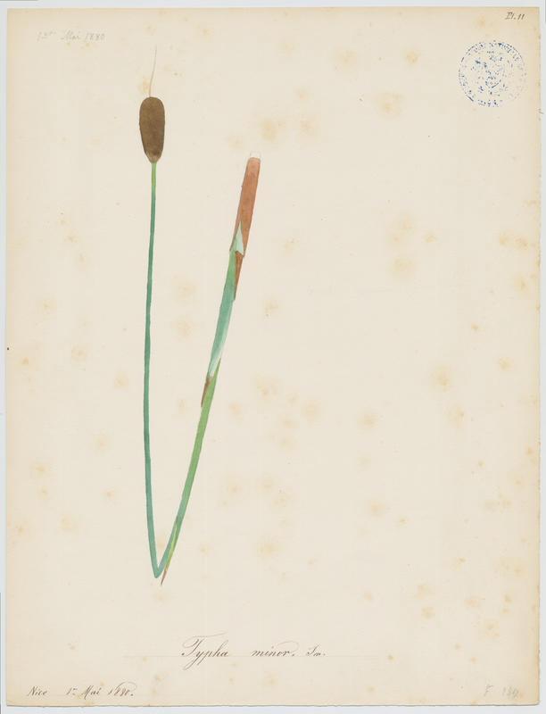 Petite Massette ; plante à fleurs_0