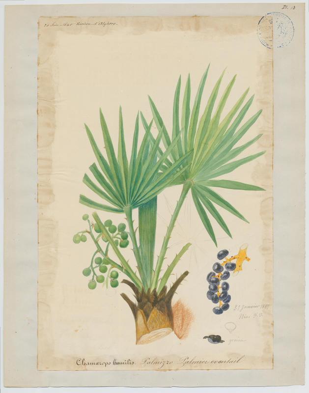 Palmier éventail ; plante à fleurs_0