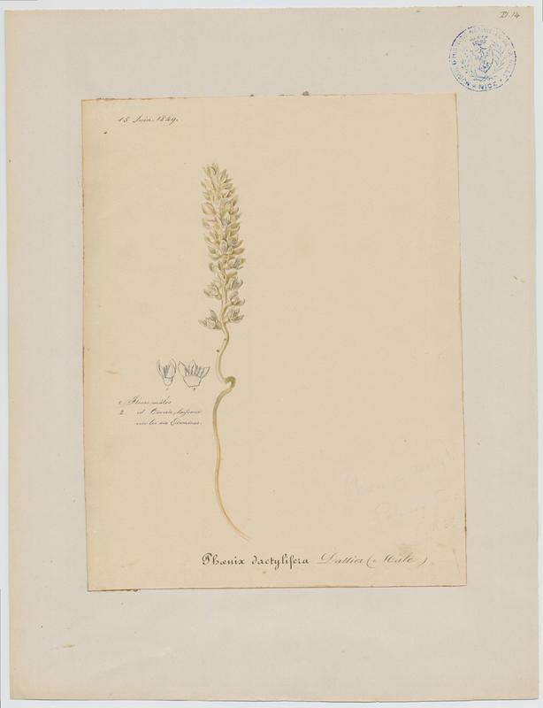 Dattier ; plante à fleurs_0