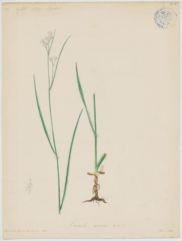 Luzule blanche ; Luzule des neiges ; plante à fleurs_0