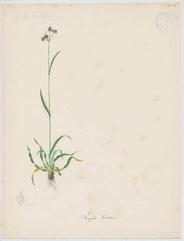 BARLA Jean-Baptiste (attribué à) : Luzule de Forster, plante à fleurs