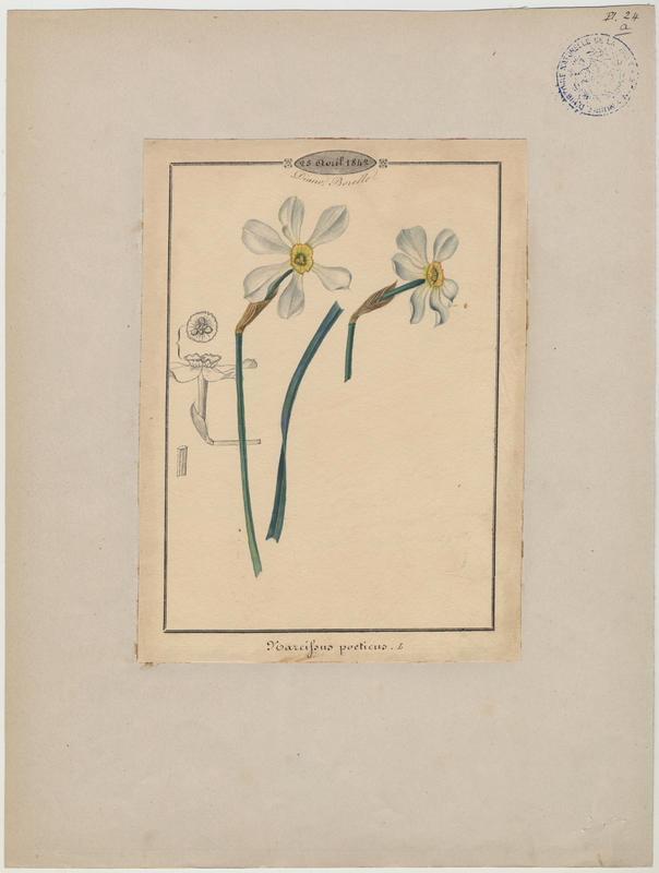 BARLA Jean-Baptiste (attribué à) : Narcisse des poètes, plante à fleurs