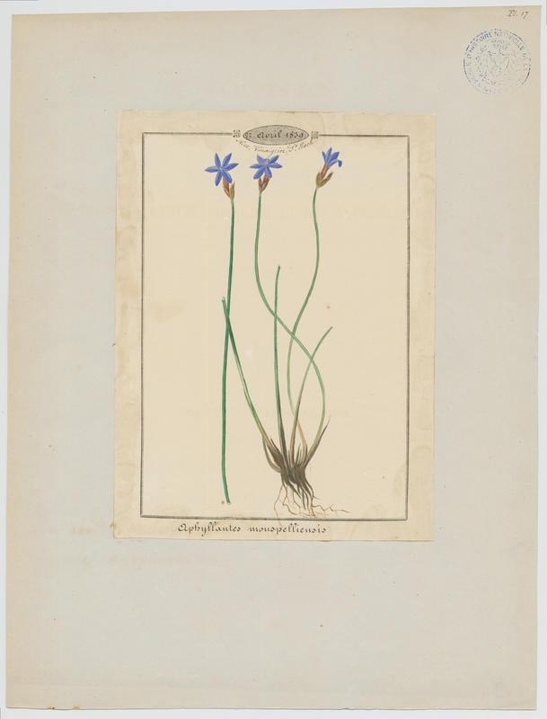 Aphyllanthe de Montpellier ; plante à fleurs_0