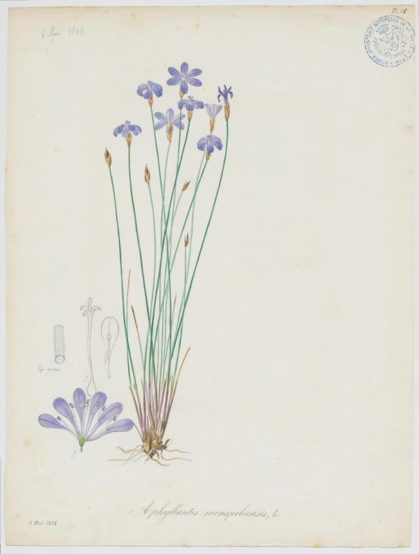 BARLA Jean-Baptiste (attribué à) : Aphyllanthe de Montpellier, plante à fleurs