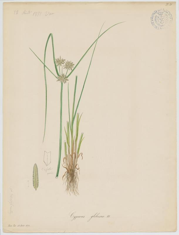 BARLA Jean-Baptiste (attribué à) : Souchet jaune, plante à fleurs