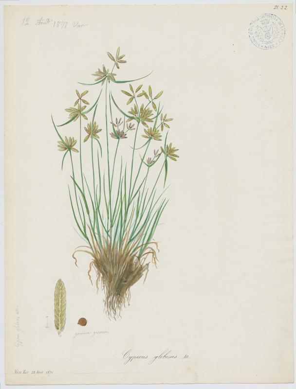 Souchet jaune ; plante à fleurs_0