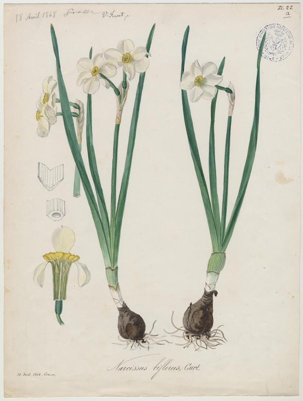 Narcisse-bouquet ; Narcisse à deux fleurs ; plante à fleurs_0