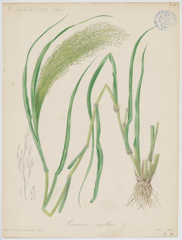 Panic capillaire ; plante à fleurs