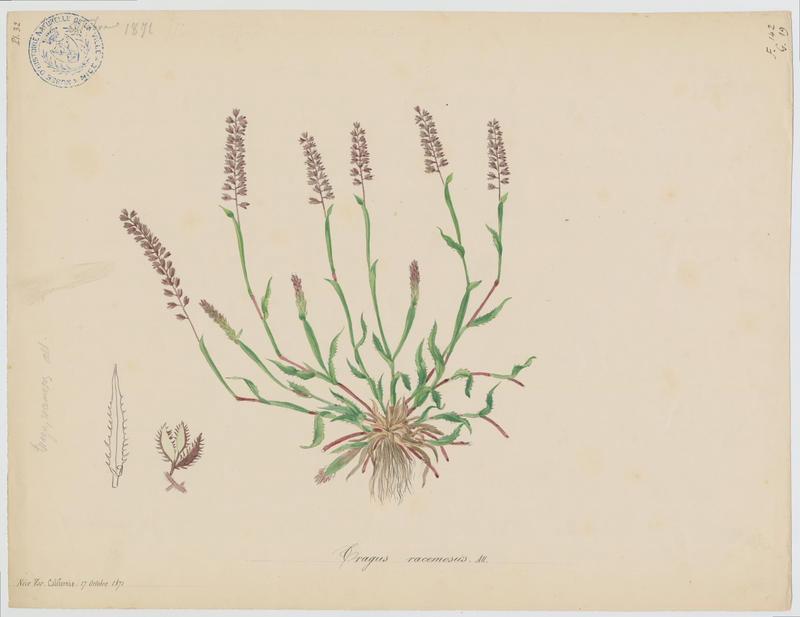 Bardanette à grappes ; plante à fleurs