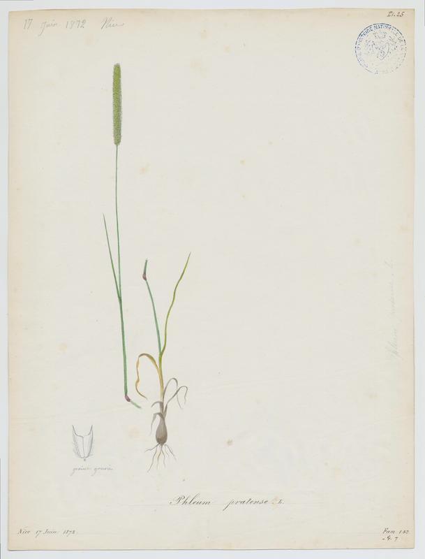 Fléole des prés ; plante à fleurs_0