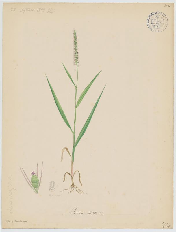 Sétaire verte ; Miliasse ; Panic vert ; plante à fleurs