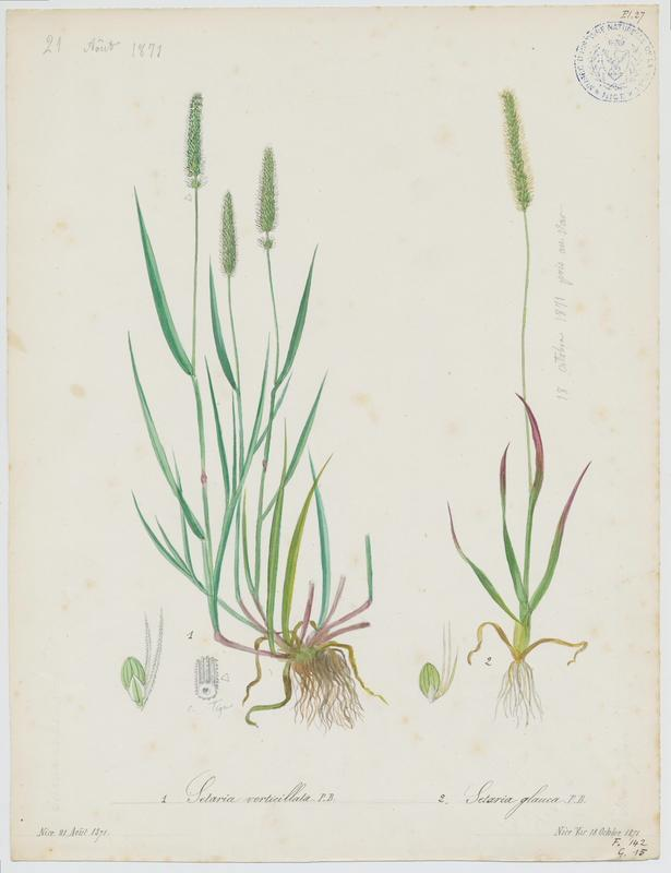 Sétaire glauque ; Sétaire naine ; plante à fleurs_0