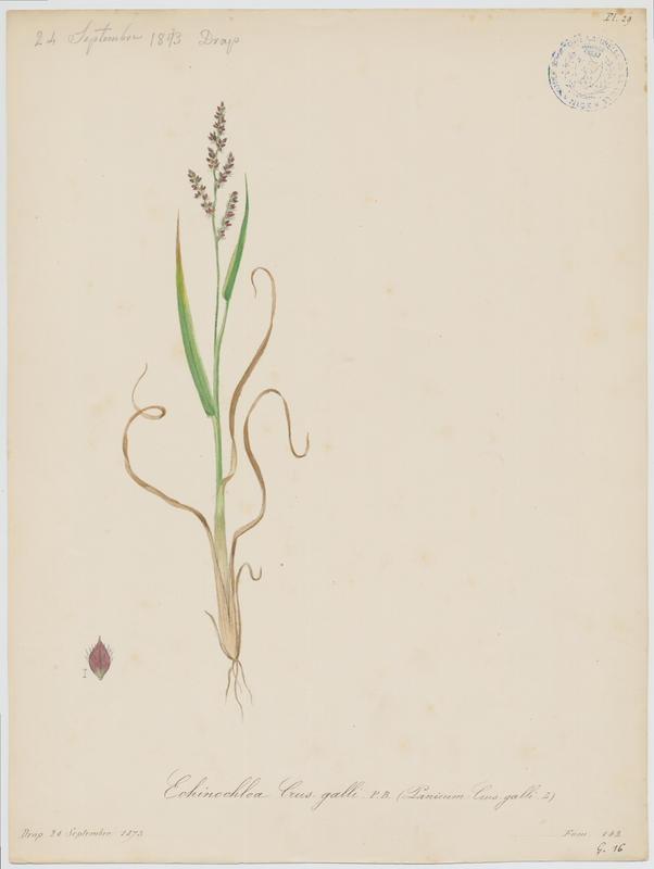 BARLA Jean-Baptiste (attribué à) : Panic des marais, plante à fleurs