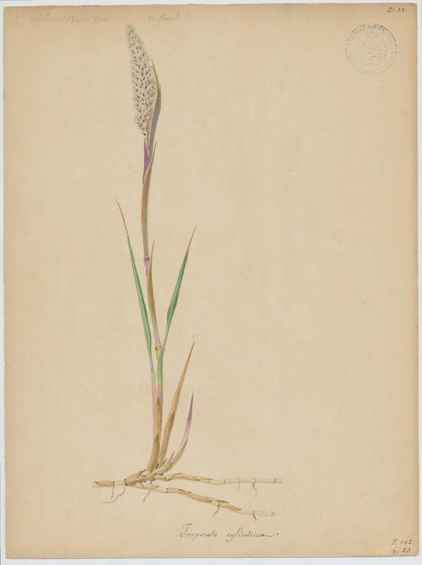 FOSSAT Vincent (aquarelliste, peintre) : Impérata cylindrique, plante à fleurs