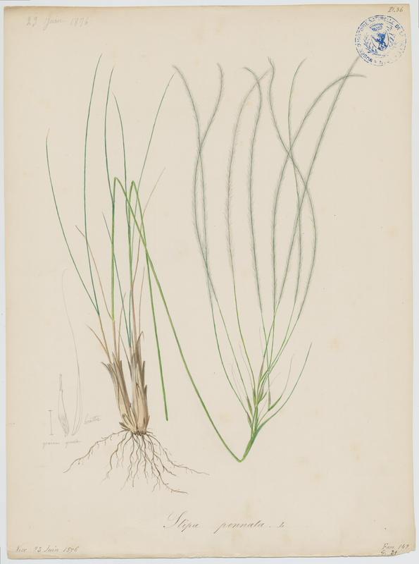 BARLA Jean-Baptiste (attribué à) : Stipe à tige laineuse, Stipe de France, plante à fleurs