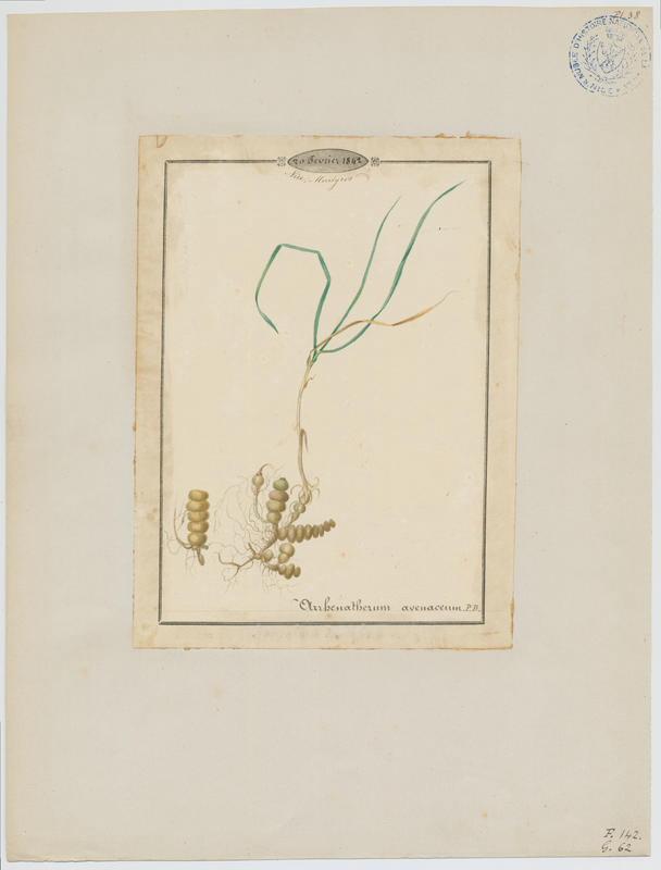 BARLA Jean-Baptiste (attribué à) : Fenasse, plante à fleurs