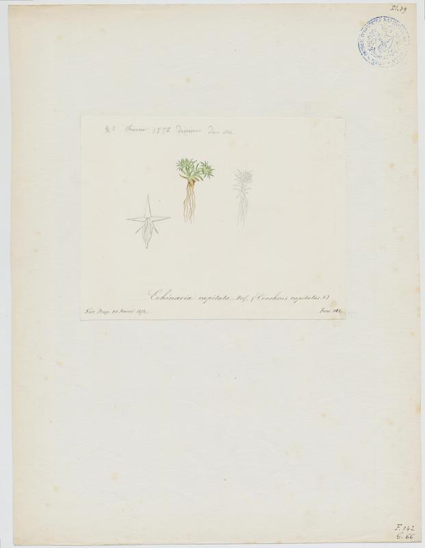 BARLA Jean-Baptiste (attribué à) : Echinaire à têtes, plante à fleurs
