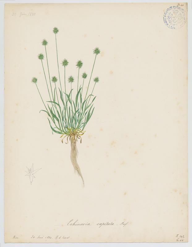 FOSSAT Vincent (aquarelliste, peintre) : Echinaire à têtes, plante à fleurs