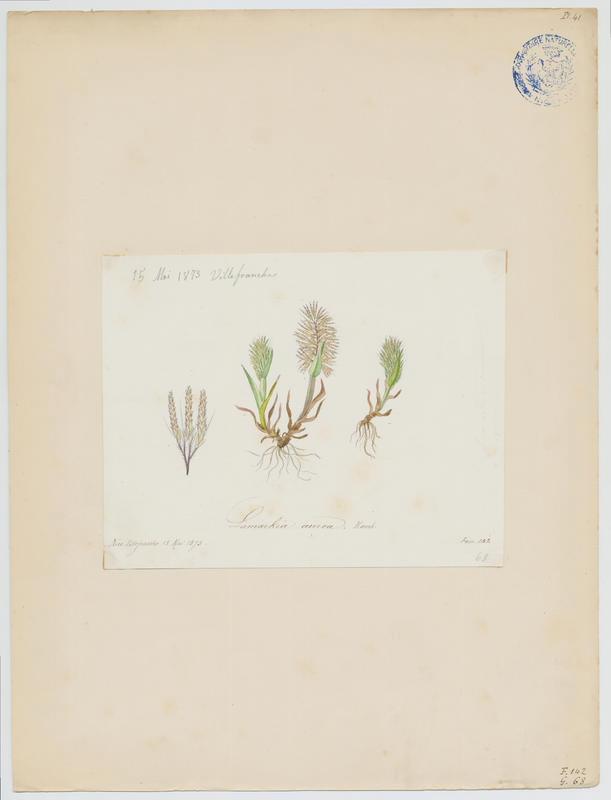 Lamarckia dorée ; plante à fleurs_0