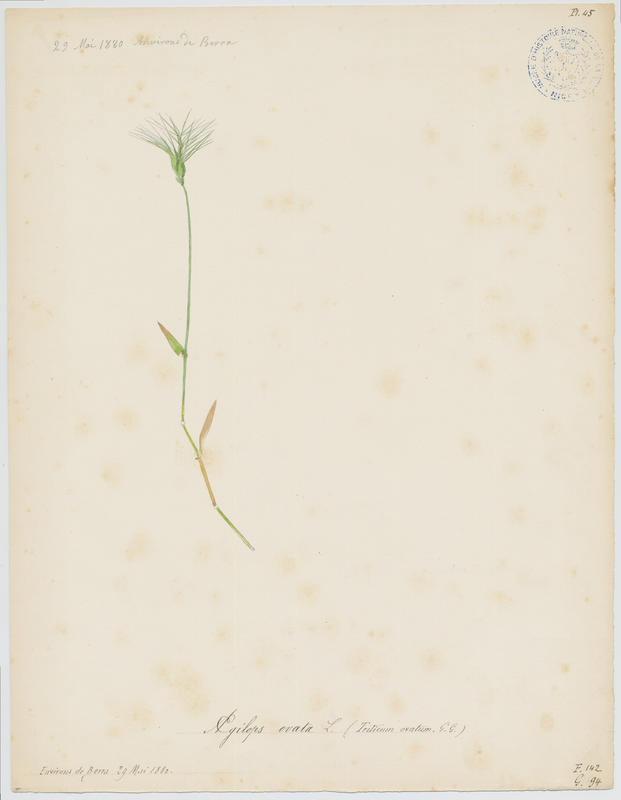 Egilope à inflorescence ovale ; plante à fleurs_0