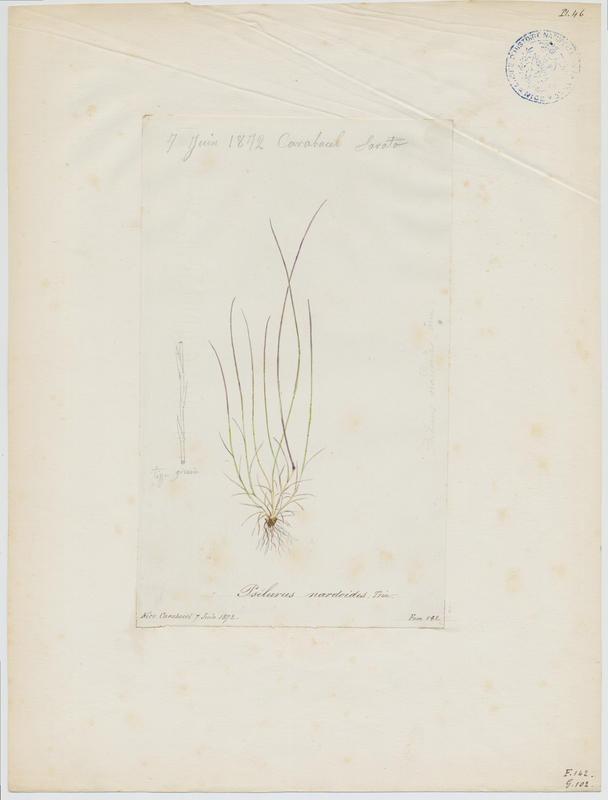 SARATO César Honoré : Psilure, Psilurus aristé, plante à fleurs