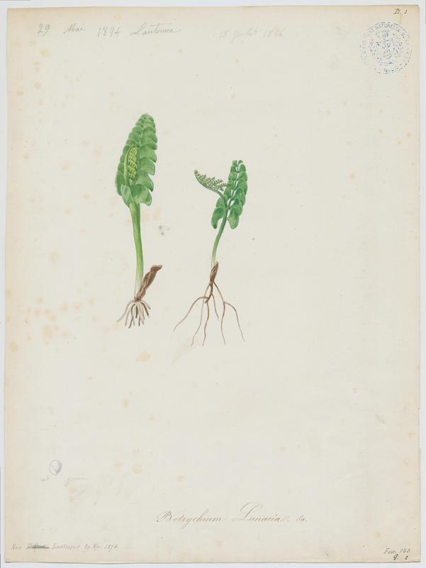 BARLA Jean-Baptiste (attribué à) : Botryche lunaire, plante à fleurs