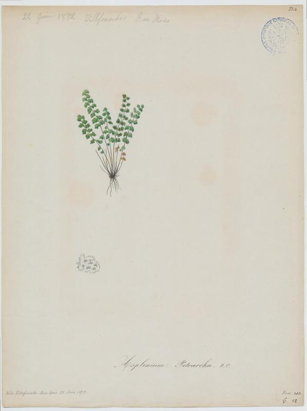 BARLA Jean-Baptiste (attribué à) : Doradille de Pétrarque, Asplénium de Pétrarque, plante à fleurs