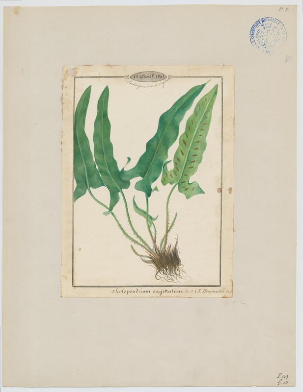 Herbe à la mule ; plante à fleurs_0