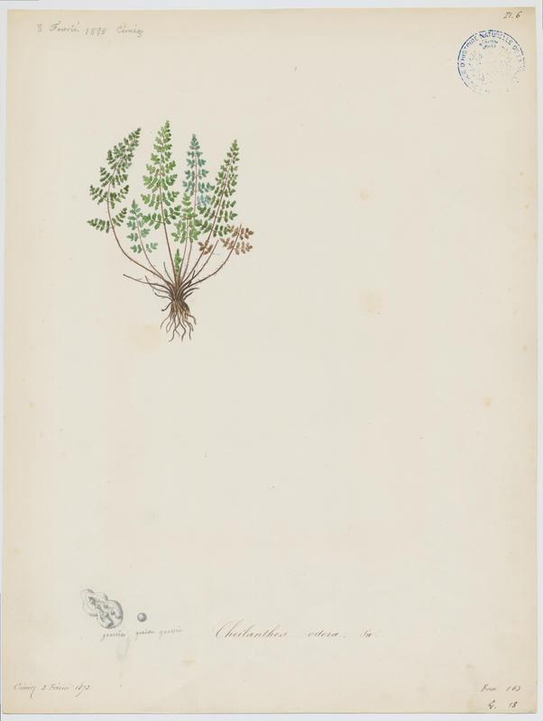 Cheilanthès acrostic ; plante à fleurs