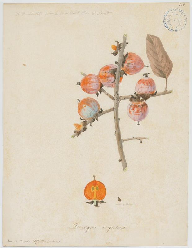 Plaqueminier de Virginie ; Persimmon ; plante_0