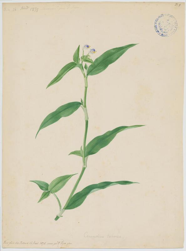 Comméline ; plante à fleurs_0