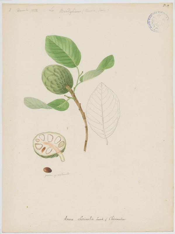 BARLA Jean-Baptiste (attribué à) : Chérimolier, plante à fleurs