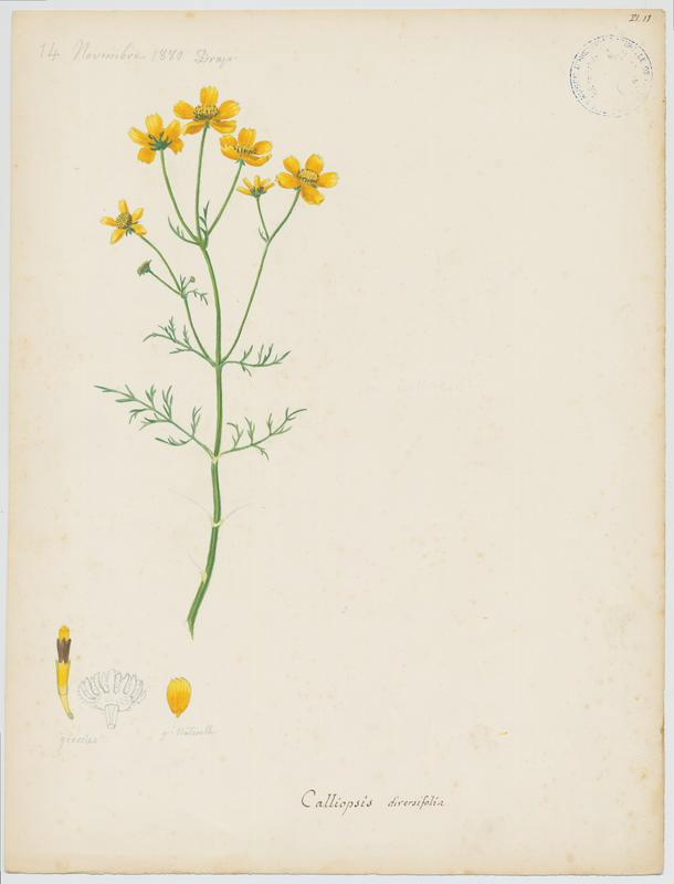 Coreopsis ; plante à fleurs