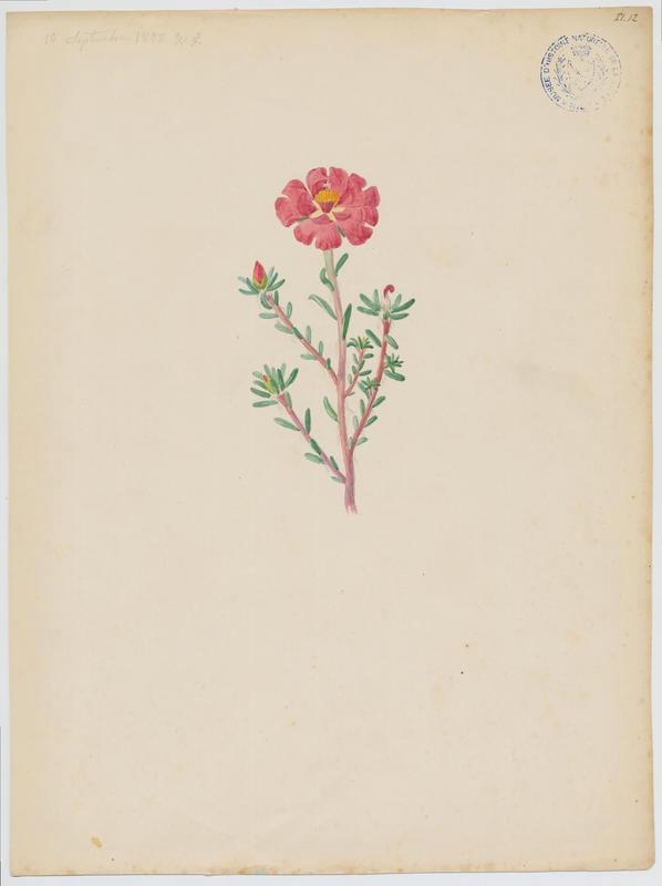 FOSSAT Vincent (aquarelliste, peintre) : plante à fleurs