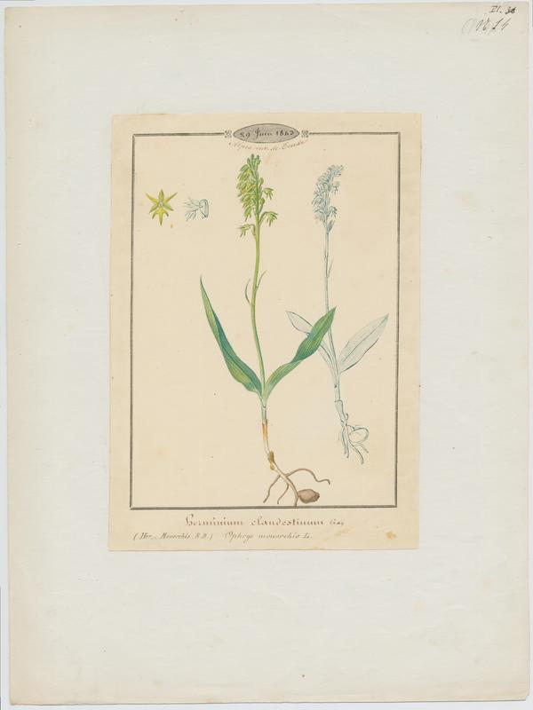 Orchis musc ; Herminium à un seul tubercule ; plante à fleurs_0