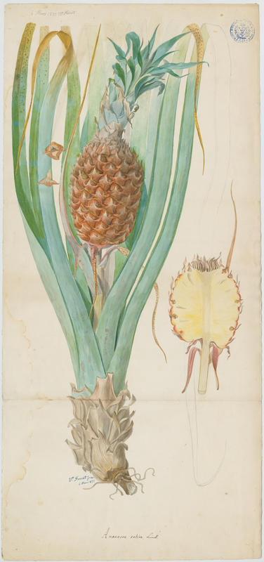 FOSSAT Vincent (aquarelliste, peintre) : ananas, plante à fleurs