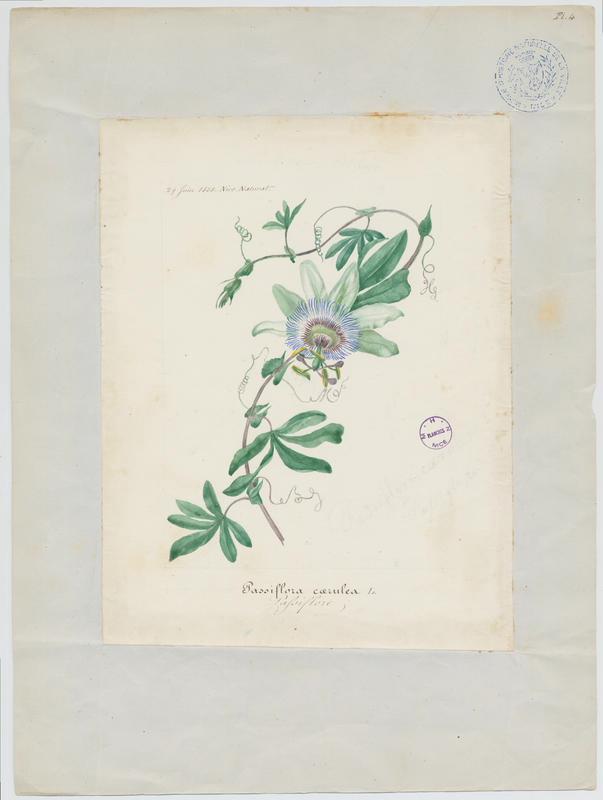 BARLA Jean-Baptiste (attribué à) : Passiflore, plante à fleurs