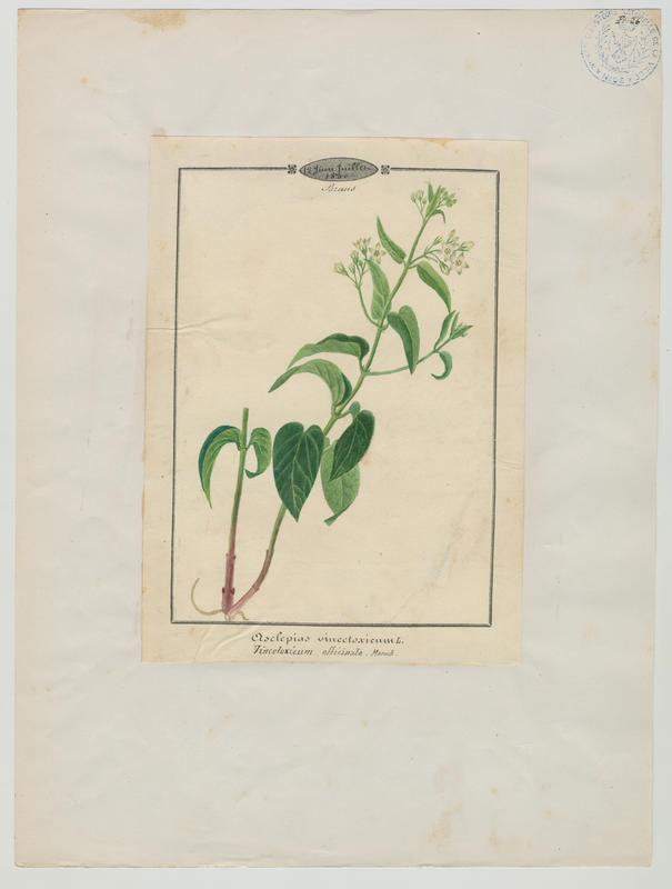 BARLA Jean-Baptiste (attribué à) : Dompte-venin, plante à fleurs